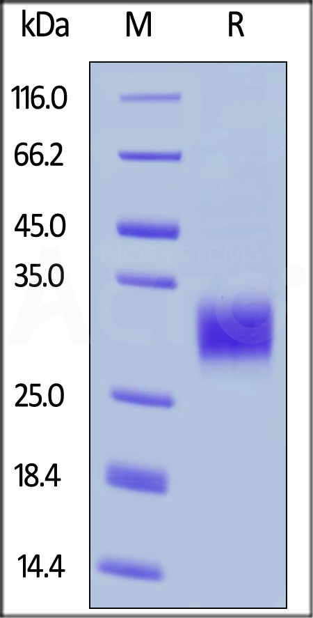 Human CD32a (H167) (SPR verified) (Cat. No. CD1-H5223) SDS-PAGE gel
