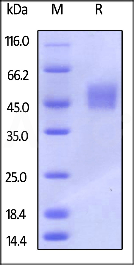Mouse Fc gamma RI, His Tag (Cat. No. CD4-M5227) SDS-PAGE gel