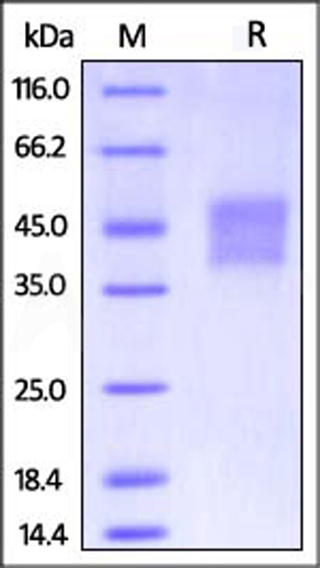 Human CD16a (V176), His Tag (SPR & BLI verified) (Cat. No. CD8-H52H4) SDS-PAGE gel