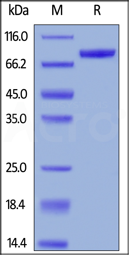 Human CD19 (20-291), Fc Tag, low endotoxin (Super affinity) (Cat. No. CD9-H5251) SDS-PAGE gel