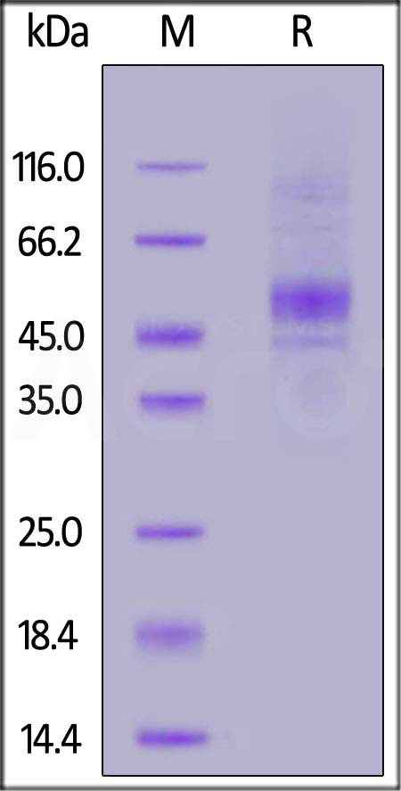FITC-Labeled Human CD19 (20-291) (Cat. No. CD9-HF2H2) SDS-PAGE gel