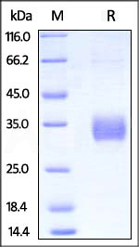 Biotinylated Human CD32a (H167), Avitag,His Tag (SPR & BLI verified) (Cat. No. CDA-H82E6) SDS-PAGE gel