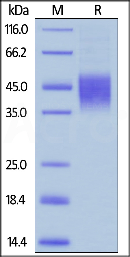 Biotinylated Human CD16b (NA2), His Tag, Avi Tag (SPR verified) (Cat. No. CDB-H82Ea) SDS-PAGE gel