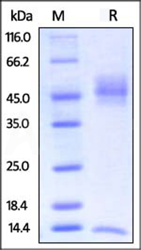 Biotinylated Rat FCGRT&B2M Heterodimer Protein, Avitag,His Tag&Strep II Tag (SPR verified) (Cat. No. FCM-R82W7) SDS-PAGE gel