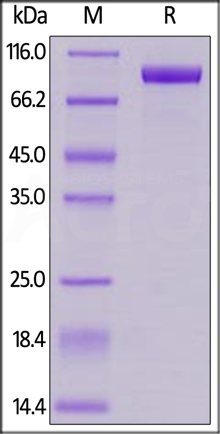Cynomolgus Her2, His Tag (Cat. No. HE2-C52Hb) SDS-PAGE gel