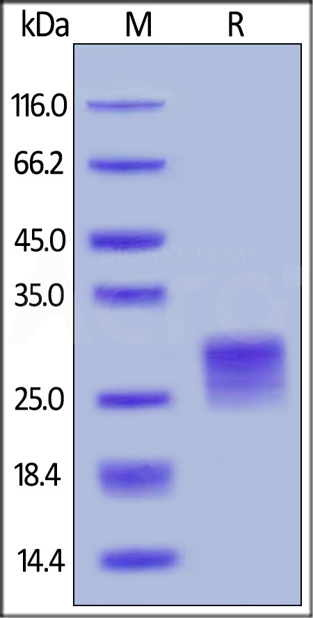 Human OX40 Ligand, His Tag (active trimer) (HPLC-verified) (Cat. No. OXL-H52Q8) SDS-PAGE gel