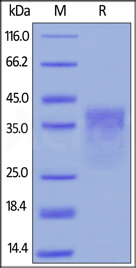 Human PD-1, His Tag (HPLC verified) (Cat. No. PD1-H5221) SDS-PAGE gel