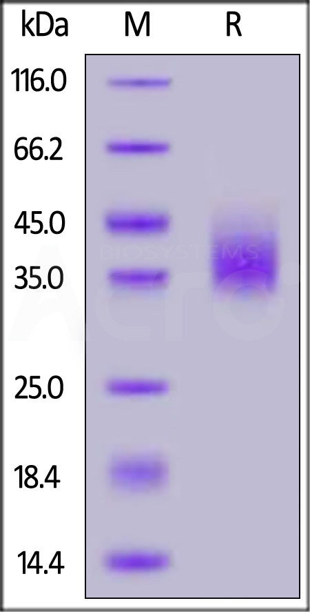 Human PD-L1, Strep Tag (Cat. No. PD1-H5282) SDS-PAGE gel