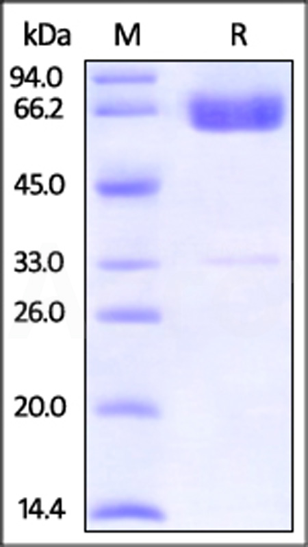 Human PD-L2, Fc Tag (HPLC-verified) (Cat. No. PD2-H5251) SDS-PAGE gel